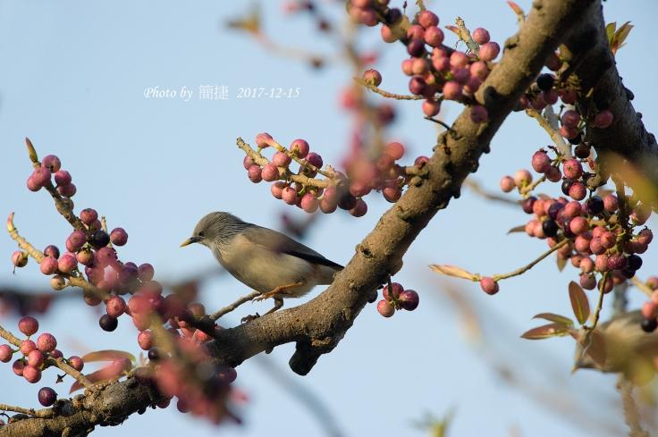 _DSC1620G,-掠鳥-(D3s-&-VR-600mm)-S,-2017-12-15.jpg